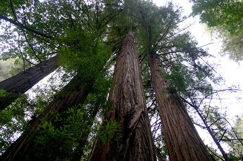 redwoods21.jpg