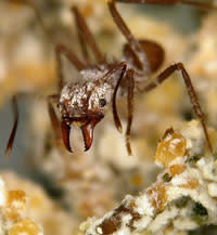 Leafcutter-ant.jpg