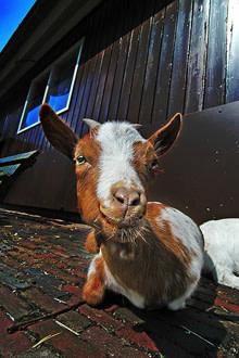 goat220.jpg
