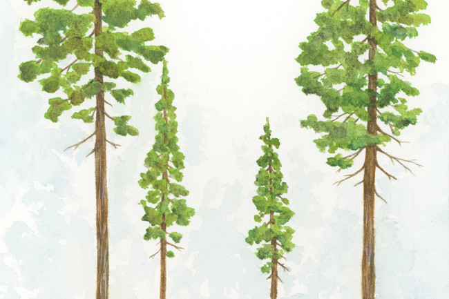 Redwood-Trees