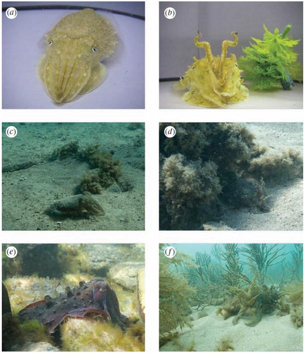 Cuttlefish_camouflage.jpg