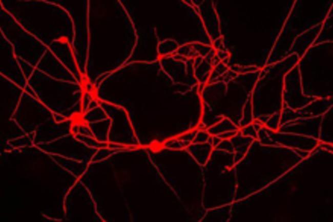 neuronsMice.jpg