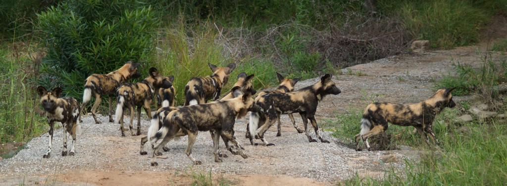 An African wild dog pack in Kruger National Park, South Africa. Photo by Bart Swanson