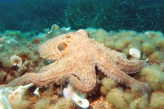 octopuswiki425.jpg