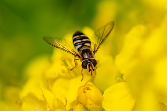 Hoverfly - Shutterstock