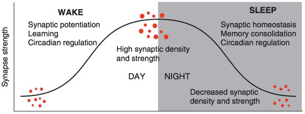 synaptic-scaling-graph1.jpg