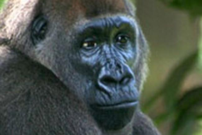 04-29-Cross_river_gorilla_2.jpg