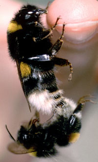 Mating_bees.jpg