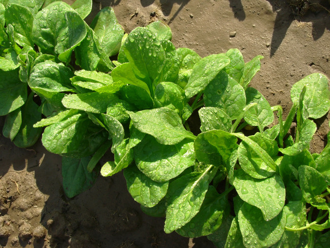 leafy green- MAR/APRIL