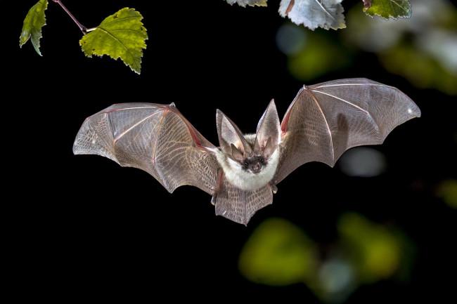 bat - grey long-eared bat - shutterstock