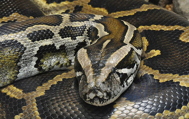 Burmese_python.jpg