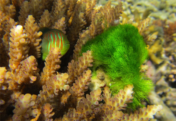 Goby_coral_seaweed.jpg