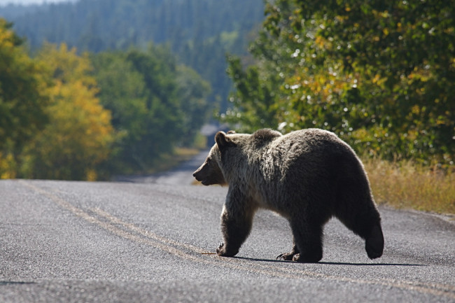Grizzly Bear in Road, Glacier National Park - Shutterstock