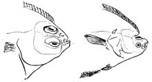mivart-flatfish-220.jpg