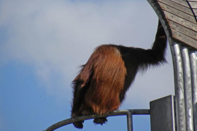 Orangutan_relaxing.jpg