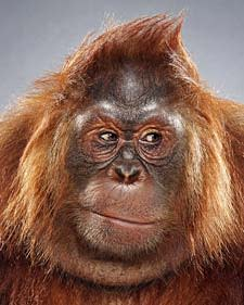 orangutan225.jpg