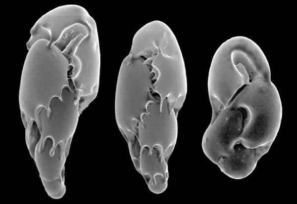 Micrografía electrónica de foraminíferos