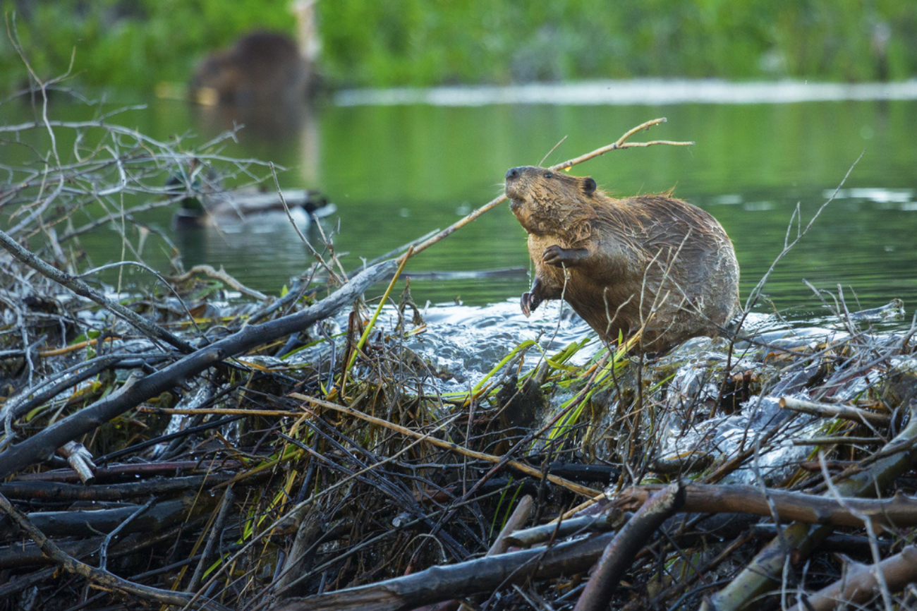 Beavers Chip in on Landscape Engineering