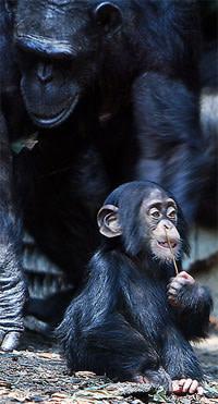 Babychimp.jpg
