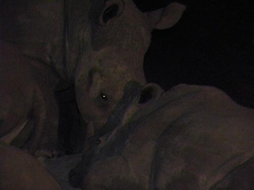 Rhinosleeping.jpg