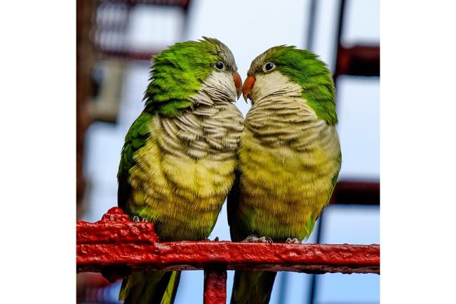 Monk parakeets - shutterstock