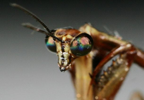 Mantidfly-close-up.jpg
