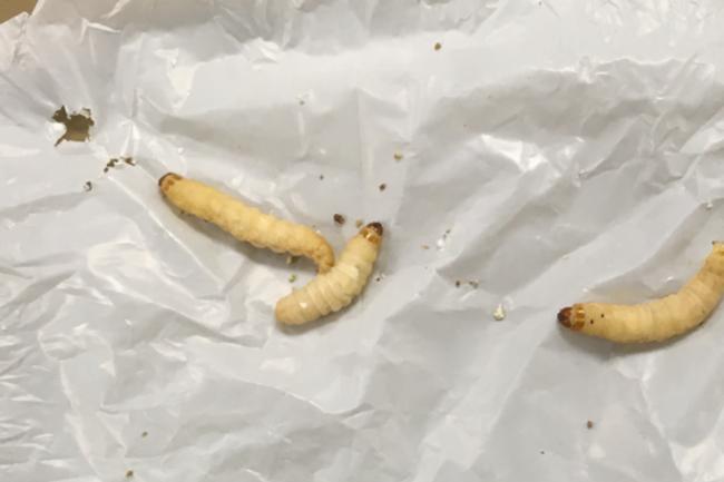 waxworm plastivore plastic eating insect - Brandon University