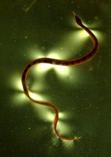 snake-gelatin.jpg