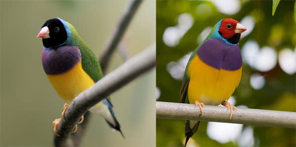 Gouldian_finches.jpg