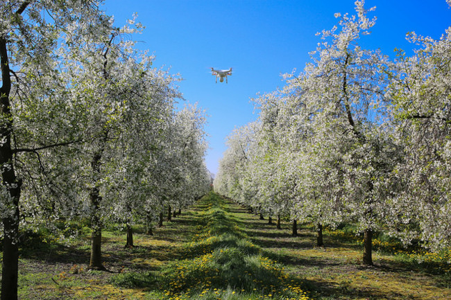A drone surveys rows of cherry trees in an orchard on the Danish island of Lolland. Image by Lars Plougmann via Flickr