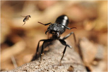 Camponotus_morosus_ant_being_attacked_by_a_parasitoid_phorid_fly.jpg