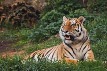 Sorry, 'Tiger King,' but Big Cats Don't Make Good Pets