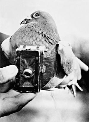 first pigeon