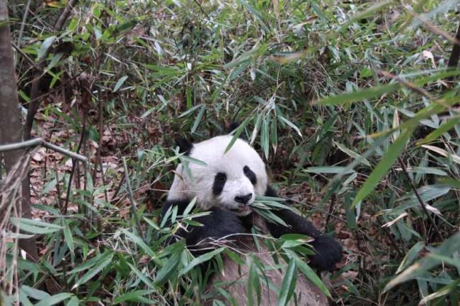 PandasBamboo.jpg