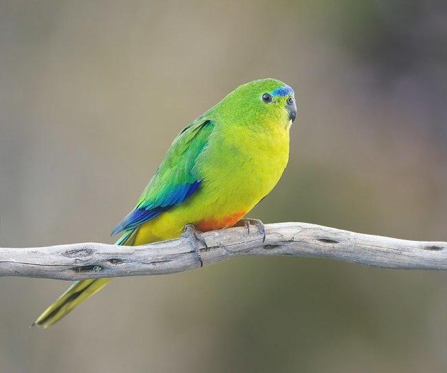 Orange Bellied Parrot - JJ Harrison