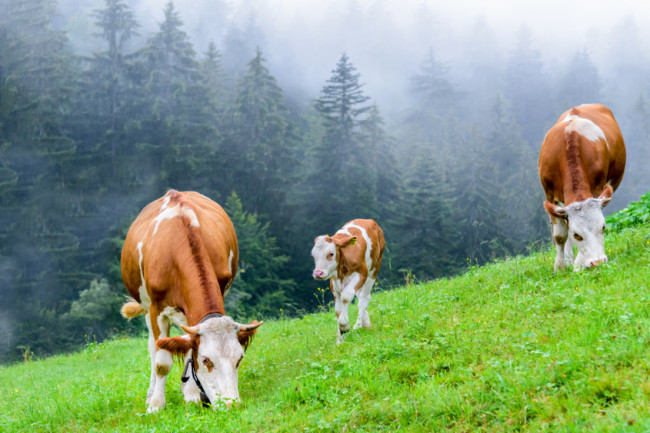 Cows-Methane