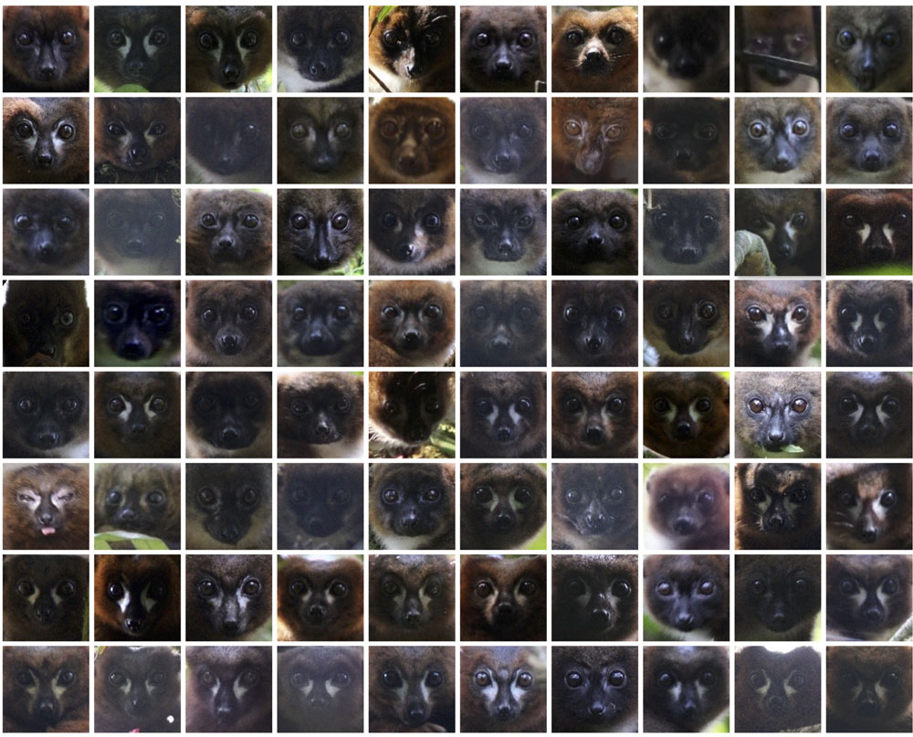 lemur-id.jpg