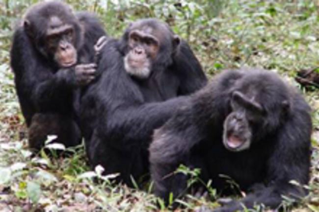 chimpskillchimps.jpg