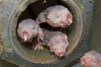 Naked Mole Rats Seem More Alien Than Mammal. What Explains Their Weirdness?