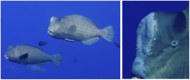 Bumphead_parrotfish.jpg
