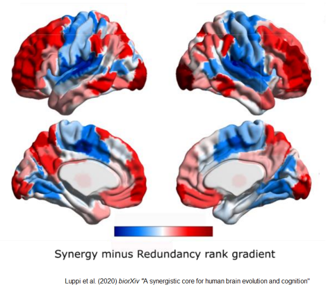 Synergy map of human brain