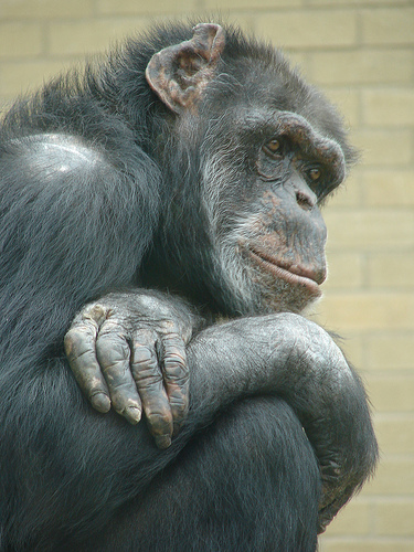 contemplative-chimp1.jpg