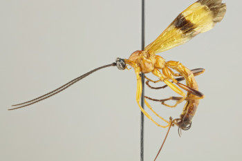Researchers Discover 15 New Parasitic Wasps That Mind Control Spiders