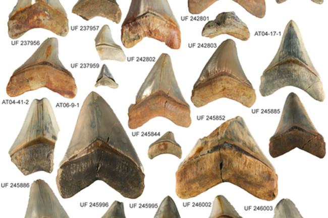 Megalodon-teeth.jpg