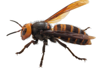 Murder Hornets Menaced Parts of the U.S. This Year. How Big of a Threat Are They?