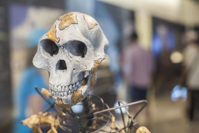 Lucy, Australopithecus - Shutterstock
