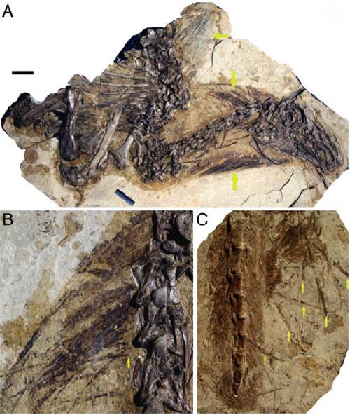 Beipaiosaurusfossil.jpg