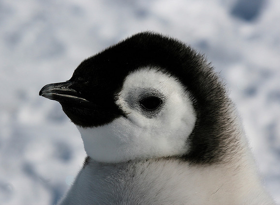 emperor-penguin1.jpg