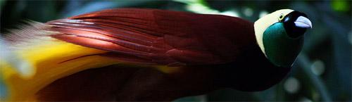 Bird-of-paradise.jpg