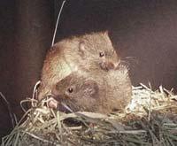 Prairie-voles.jpg